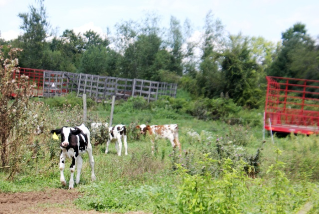 cow robinson farm
